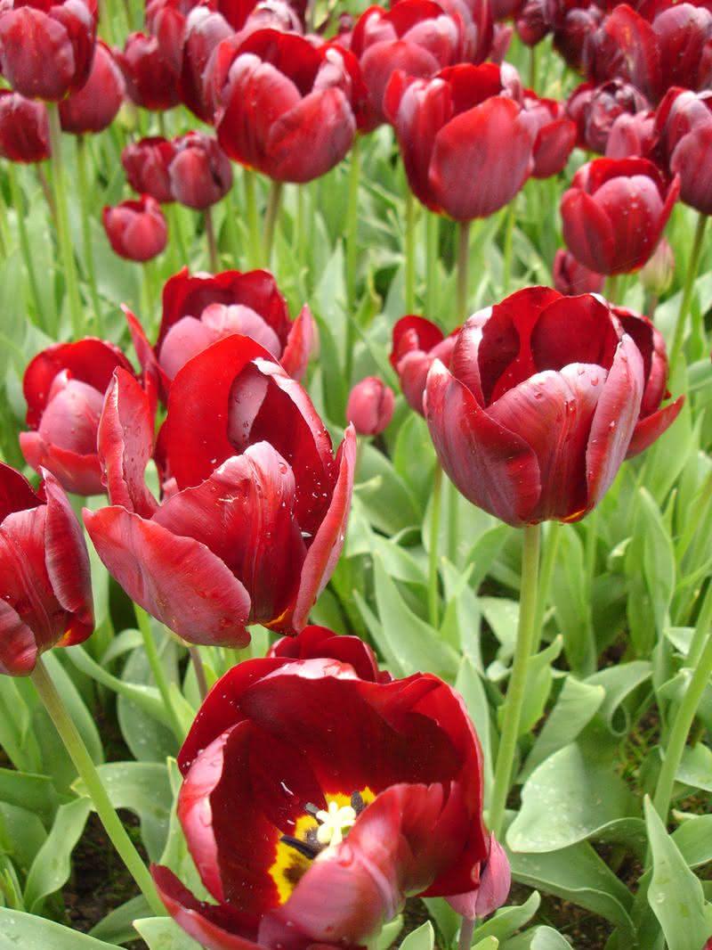 łatwe w uprawie hydroponicznej tulipany