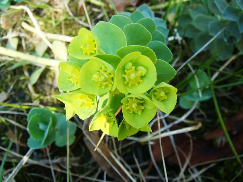 Zielonkawe podkwiatki wilczomlecza mirtowatego