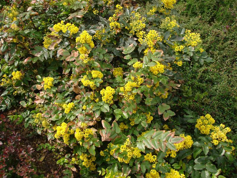 Wiosenne kwitnienie mahonii pospolitej