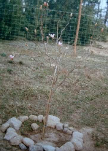 204 DSC00813 mgr magnolia.JPG