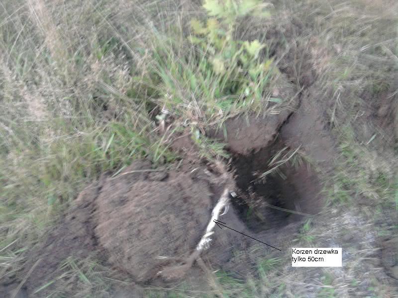 drzewko50cm.JPG