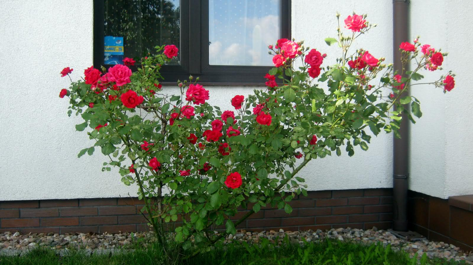 pod kuchennym oknem...  różano...