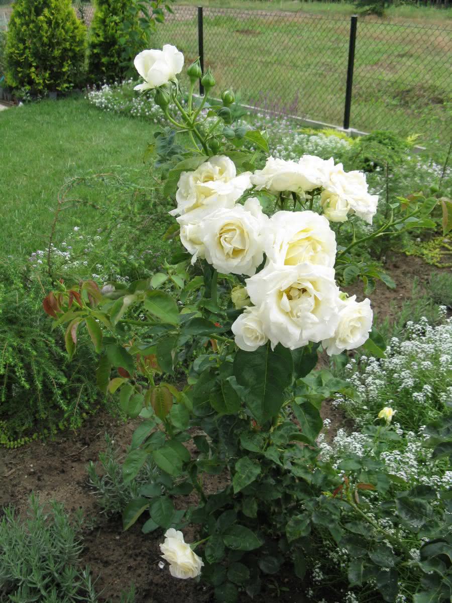 Chopin kwitnie od czerwca