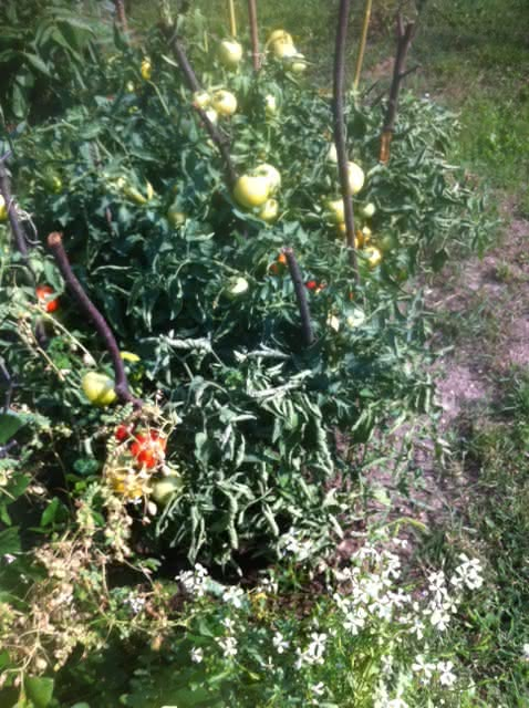 pomidor_sie2015_1.JPG