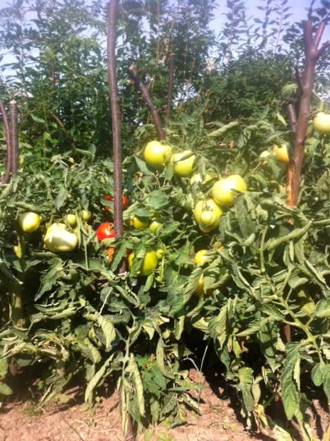 pomidor_sie2015_2.JPG