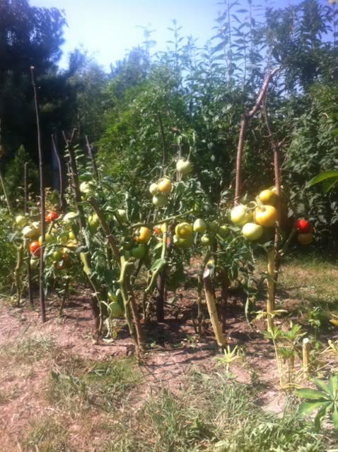 pomidor_ciety1.JPG