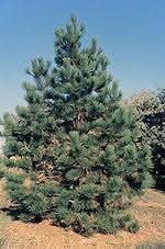 150px-Pinus_ponderosa_tree.jpg