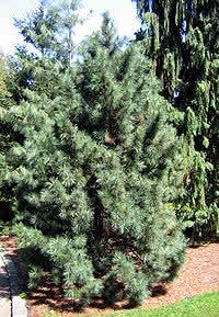 200px-Pinus_koraiensis_01.jpg