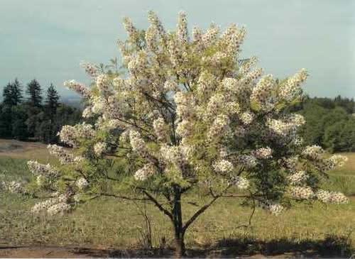 xanthoceras_sorbifolia_drzewko.jpg